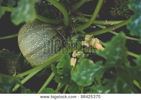 Marrow Squash growing on a patch
