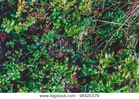 Cowberries growing in a forest