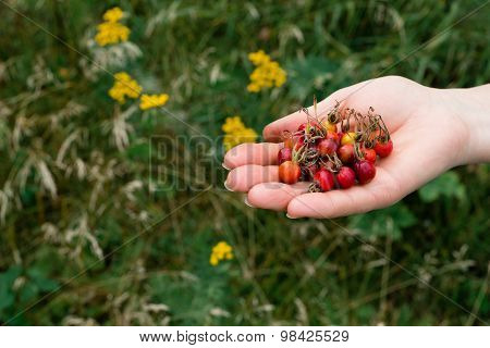 Rosehips in a hand