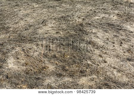 Grass After The Passage Of Fire