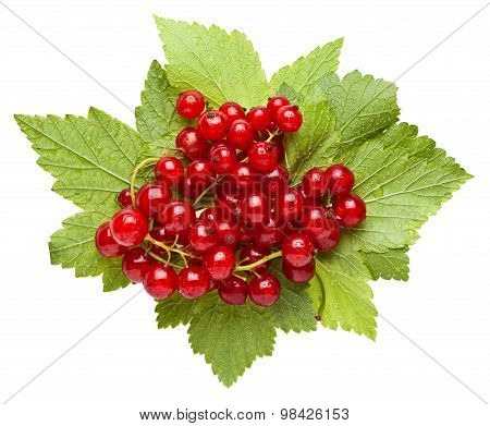 Bunch Of Red Currant On Leaves With Water Drops
