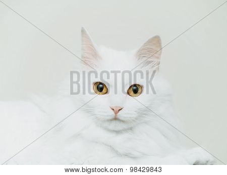 Fluffy Cute Cat Of White Color