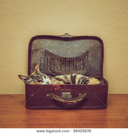 Cat Of Tortoiseshell Color In A Suitcase