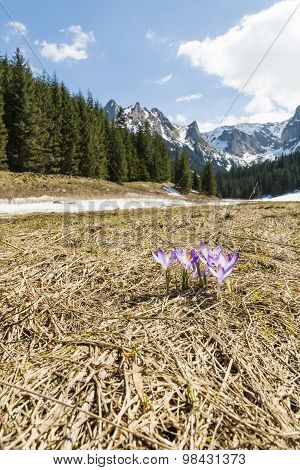 Crocuses Blooming In A Clearing In The Valley Tatra In Poland