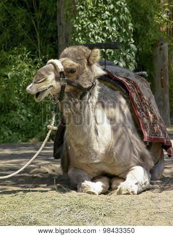 Tired And Grumpy Camel