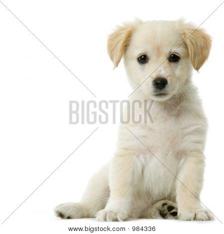 Labrador Retriever creme