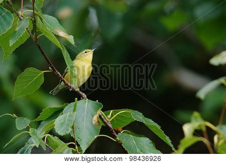 Perched Yellow Warbler