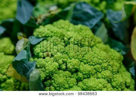 Organic Broccoli Group Closeup