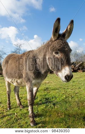 Small donkey in a winter meadow in evening light