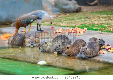 Beautiful Nutria Eating Apples On A Pond