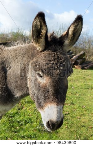 Portrait of a gray donkey in a winter meadow
