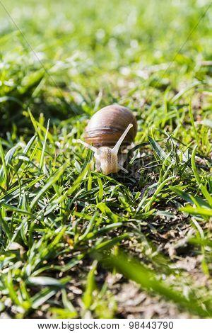 Helix Pomatia (burgundy Snail, Roman Snail, Edible Snail, Escargot)