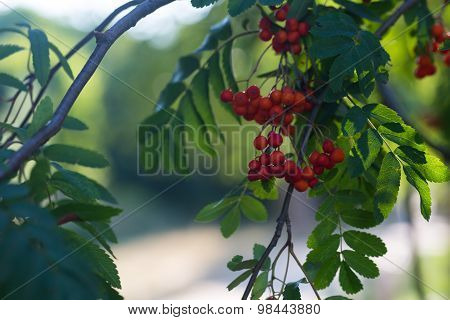 Close Up Of Red Rowan Fruits On Branch