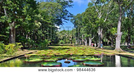 Pamplemousess Botanical Gardens In Mauritius.