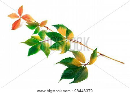 Multicolor Yellowed Twig Of Grapes Leaves
