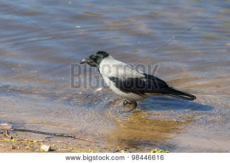 Crow Walking In The Water