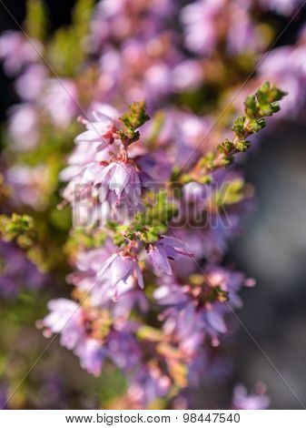 Blossoming Heather