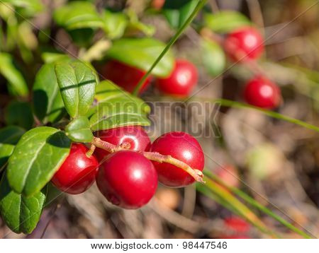 Ripe Cowberry In The Woods