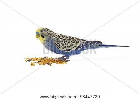 budgies on a white background