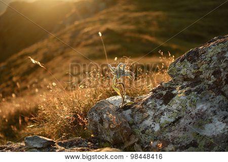 Edelweiss on rock in the backlight