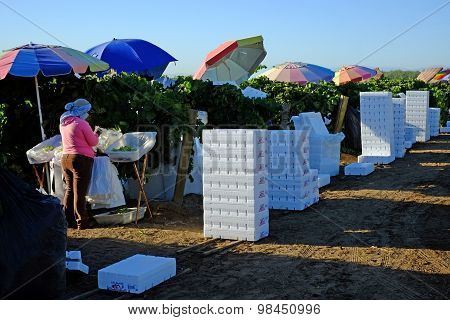 Packing the Grape harvest