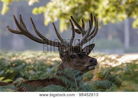 Red Deer (Cercus elaphus)