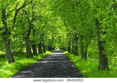 Linden-trees and Green Grass Over The beautiful  Road In A Field On A Clear Summer Day