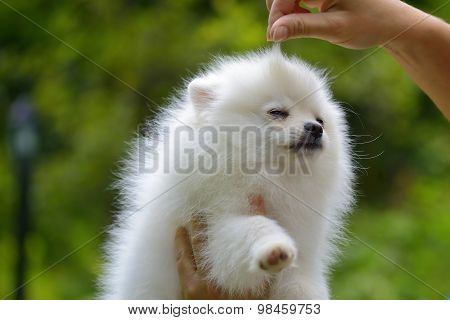 Grooming Show Dog German Spitz Outside