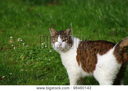 Tabby & White Cat