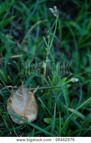 Dried bougainvillea flower on the grass