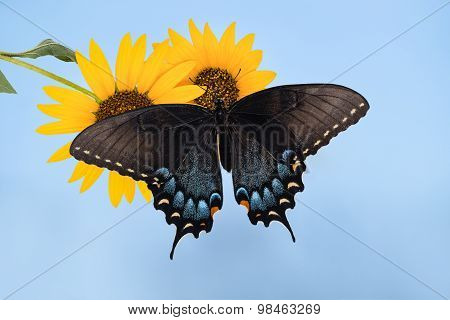 Eastern Tiger Swallowtail Butterfly (papilio Glaucus) On Sunflowers