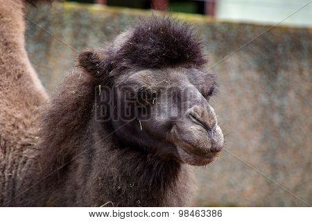 Close Up Of A Camel's Head