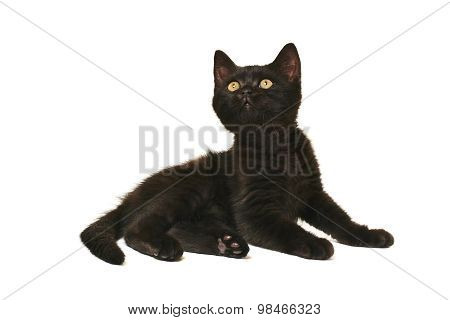 Tabby British Shorthair Kitten On White