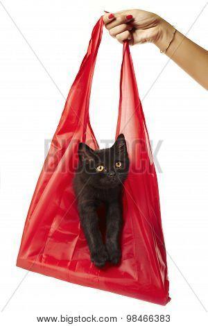 British Shorthair Kitten In A Shopping Bag