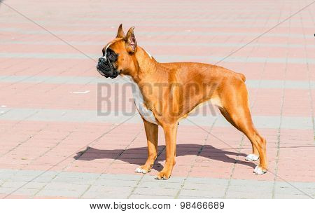 Boxer dog stands.