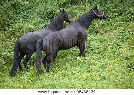 Two black horses outside in nature climb hill up