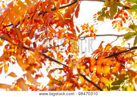 Rowan trees and foliage close-up with red berries