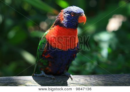 Blue And Red Tropical Parrot In The Jungle Quiet On A Branch, Guadeloupe Island, Caraibes