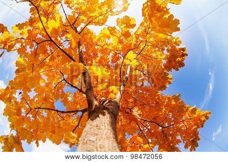 Beautiful autumn crown of maple tree