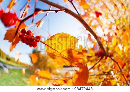 Rowan and berries over sunny autumn October sky