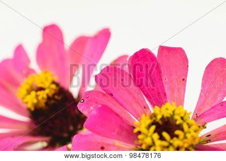 Pink Zinnia Petals Flowe