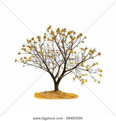 Silk Cotton Flower Tree