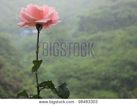 One rose in Cameron Highlands farm, Malaysia