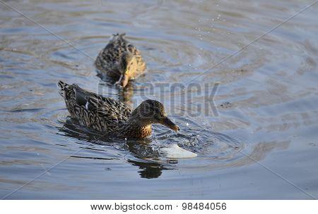 Mallards (Anas platyrhynchos) swimming in the water