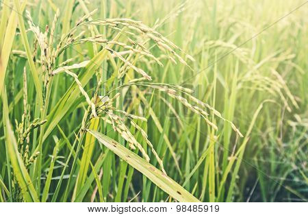 Paddy rice field at countryside of Thailand