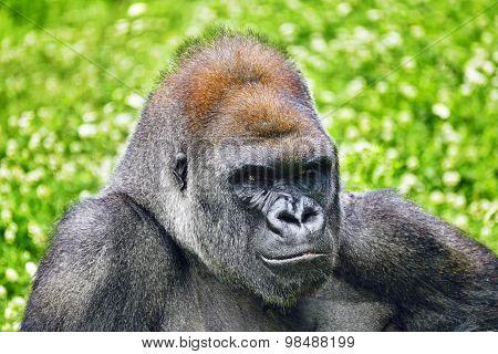 Gorilla Wisdom.