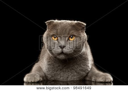 Portrait Of Angry British Fold Cat On Black
