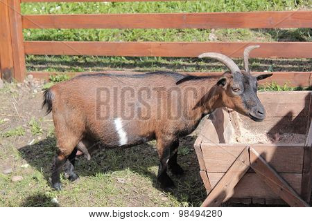 Domestic goat eating from the trough