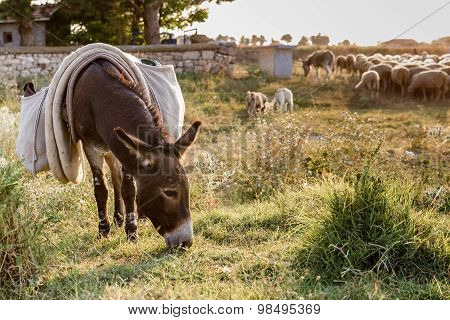 Donkey And Flock Of Sheep Grazing