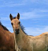 Cute Quarter Horse Foal poster